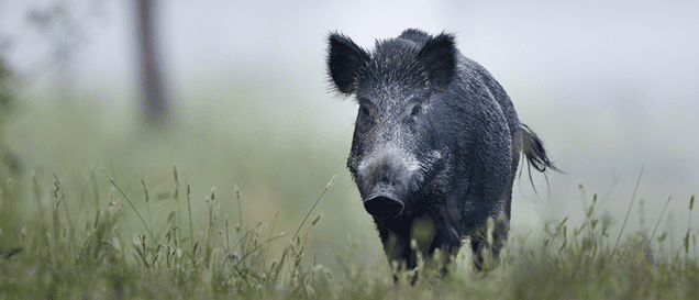 wildkamera-schwein