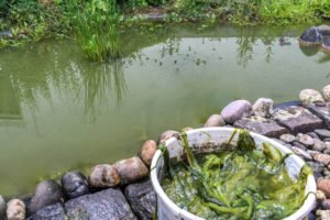 Algen, Teich, Reinigen, Entfernen