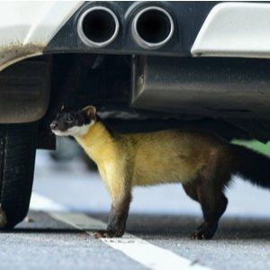 Marder unter einem Auto, der Marderschaden verursachen kann, der durch Autoversicherung gedeckt wird