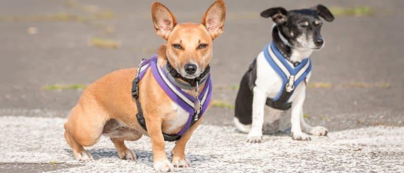 hundegeschirr-hunde-mit-richtig-angelegtem-geschirr