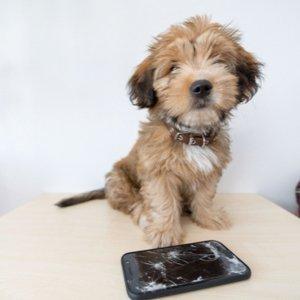 kleiner Hund, der Smartphone kaputt gemacht hat, das dank Hundehaftpflicht ersetzt werden kann