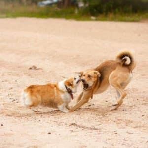 Zwei Hunde im Kampf